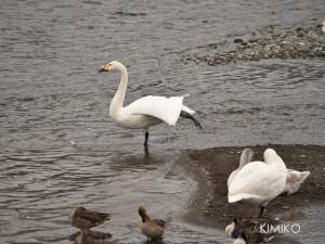 白鳥DSC_1090